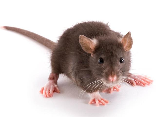Les membres en animaux, c'est cool. Rat-1740
