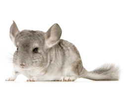 Rongeur Chinchilla