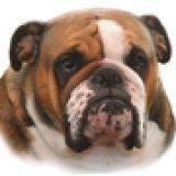 Photo de Bulldog de l'élevage TAJEMNICA TEKLI