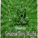 Photo de Chihuahua de l'élevage Grisous'Tiny World