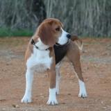Photo de Beagle de l'élevage Des Chasseurs du Temps