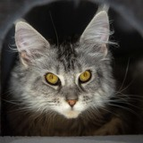 Photo de Maine Coon de l'élevage Chatterie des O d'Anjou