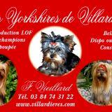 Photo de Yorkshire Terrier de l'élevage Elevage de Yorkshire de Villardières