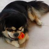 Photo de chiens de l'élevage HENRY-SONNET isabelle