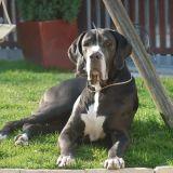 Photo de Dogue allemand de l'élevage Domaine de l'ostrevent