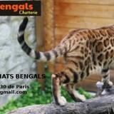 Photo de Bengal de l'élevage Elevage d'Héméra-bengals