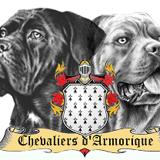 Photo de Cane Corso de l'élevage Les Chevaliers d'Armorique