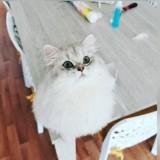 Photo de chats de l'élevage Chatterie du monde d'Assia