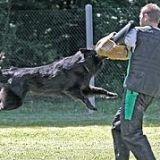 Photo de Berger belge de l'élevage Des Pistes Noires