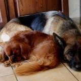 Photo de chiens de l'élevage Domaine de la vareze