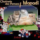 Photo de chats de l'élevage A la catterie des persans mapadi