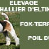 Photo de Fox-Terrier de l'élevage DU HALLIER D'ELTINOR