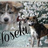 Photo de Akita Inu de l'élevage Akita Hoseki