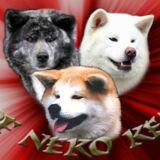 Photo de Akita Inu de l'élevage Akita Inu of Neko-Ken