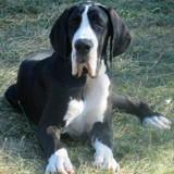 Photo de Dogue allemand de l'élevage Élevage des Comtés Séquanes