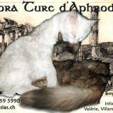 Photo de Angora turc de l'élevage Aphrodisias