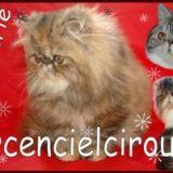 Photo de chats de l'élevage Arcencielcirou's Chatterie