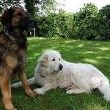 Photo de chiens de l'élevage Elevage du Domaine des Laurières