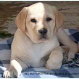 Photo de Labrador Retriever de l'élevage LABRADOR DU POMAYROL
