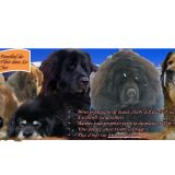 Photo de Dogue du Tibet de l'élevage Bang Bu
