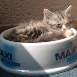 Photo de chats de l'élevage Bengalcoon