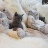 Photo de Chartreux de l'élevage Benji's cat