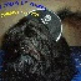 Photo de Bichon havanais de l'élevage Bichons Havanais du Coeur de Pirate