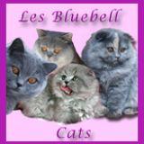 Photo de chats de l'élevage Bluebell Cats