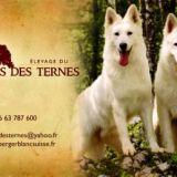 Photo de Berger blanc suisse de l'élevage BOIS DES TERNES