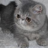 Photo de Exotic de l'élevage BOLSHOYCAT
