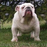 Photo de Bulldog de l'élevage BULLDOGS ANGLAIS DU BOIS DES LILAS