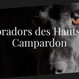 Photo de Labrador Retriever de l'élevage Labradors des Hauts de Campardon