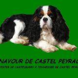 Photo de Cavalier King Charles Spaniel de l'élevage Castel Peyrac