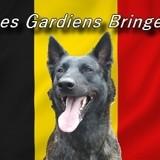 Photo de Berger hollandais de l'élevage Les Gardiens Bringés