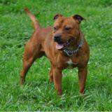 Photo de Staffordshire Bull Terrier de l'élevage Celtic Oak - Knightwood Oak
