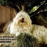 Photo de Bichon havanais de l'élevage Centre Canin Vincent