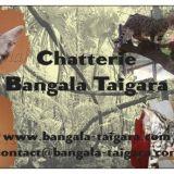 Photo de chats de l'élevage Chatterie bangala taigara