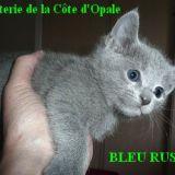 Photo de Bleu russe de l'élevage Chatterie de la Côte d'Opale