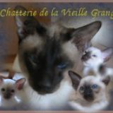 Photo de Siamois de l'élevage Chatterie de la Vieille Grange
