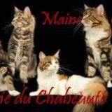 Photo de Maine Coon de l'élevage Chatterie de Maine Coon du CHABEAUTE