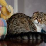 Photo de chats de l'élevage Chatterie des doux coeurs