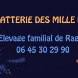 Photo de Ragdoll de l'élevage Chatterie des Mille Patounes
