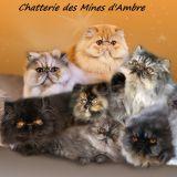 Photo de Persan de l'élevage Chatterie des Mines d'Ambre