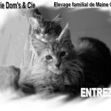 Photo de Maine Coon de l'élevage CHATTERIE DOMS et CIE