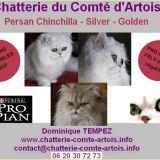 Photo de Persan de l'élevage Chatterie du Comté d'Artois