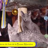 Photo de chats de l'élevage Chatterie du Fort de la Bosse Marnière