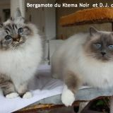 Photo de Birman de l'élevage Chatterie du Ktema Noir