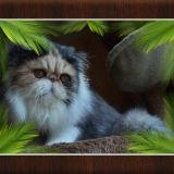 Photo de Persan de l'élevage Chatterie du nid de ch'adore