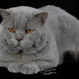 Photo de chats de l'élevage Chatterie du Preux Seingalt