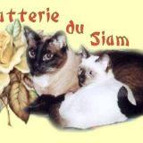 Photo de chats de l'élevage Chatterie du Siam